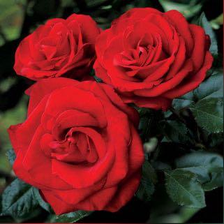 Imagem do grupo Rosas e Versos 🌹